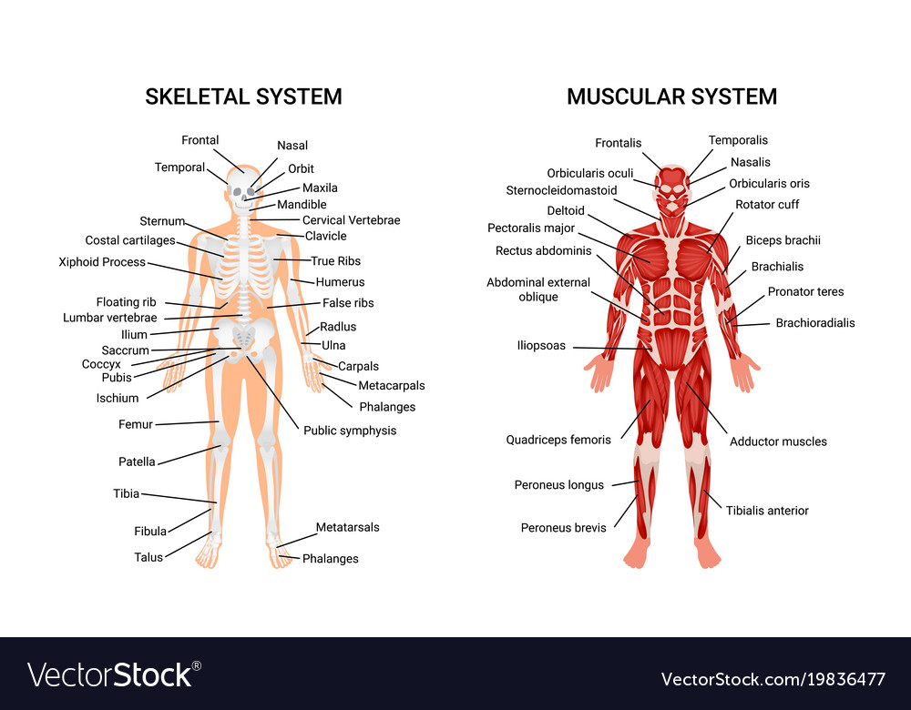 Human muscular skeletal systems poster Royalty Free Vector