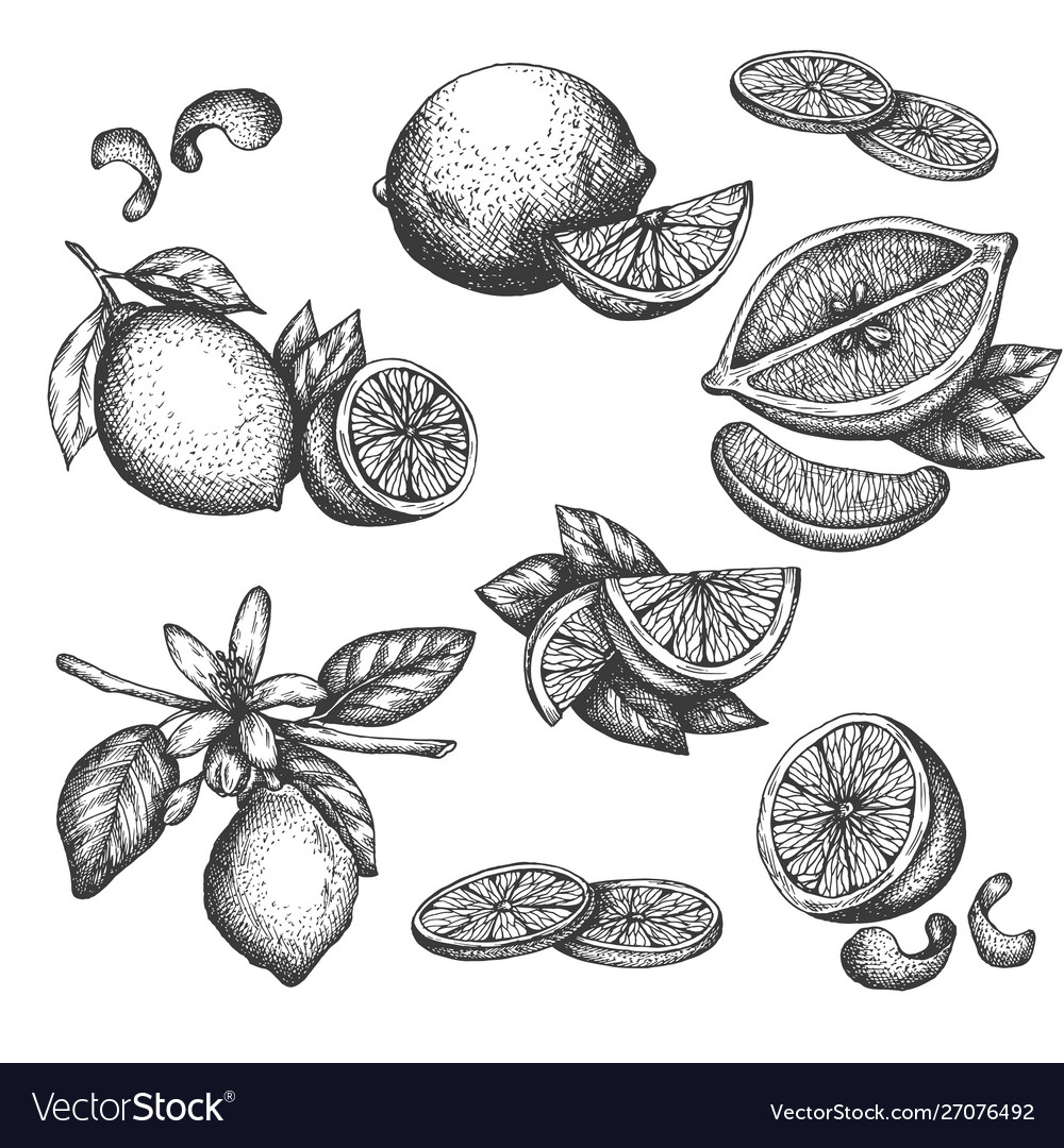 Hand drawn lime or lemon set blossom plant