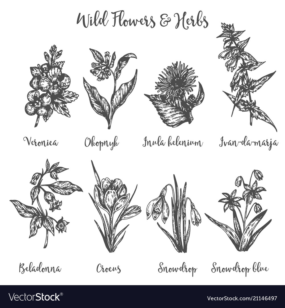 Herbs And Wild Flowers Drawing Set Royalty Free Vector Image