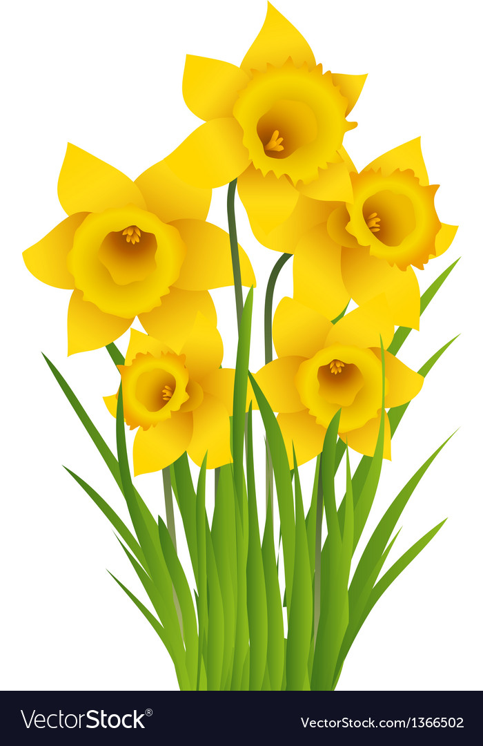 Daffodil Royalty Free Vector Image - VectorStock