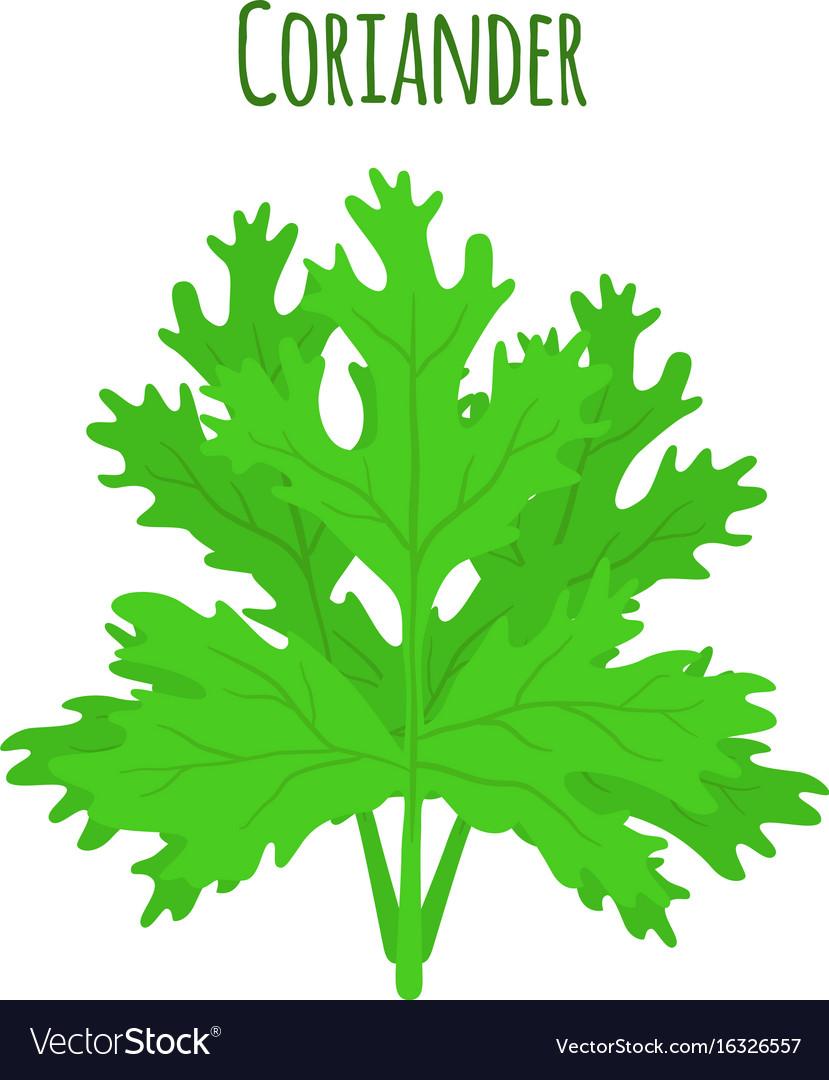 Coriander herb chinese parsley