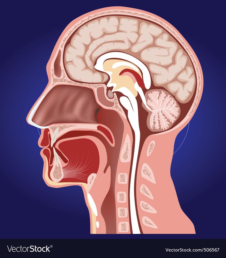 Head anatomy Royalty Free Vector Image - VectorStock