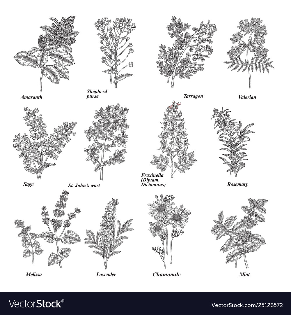 Set medical and cosmetic herbs hand drawn