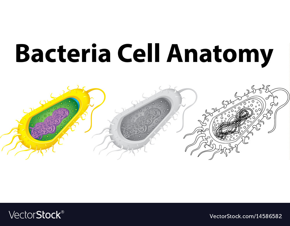 Doodle character for bacteria cell anatomy Vector Image