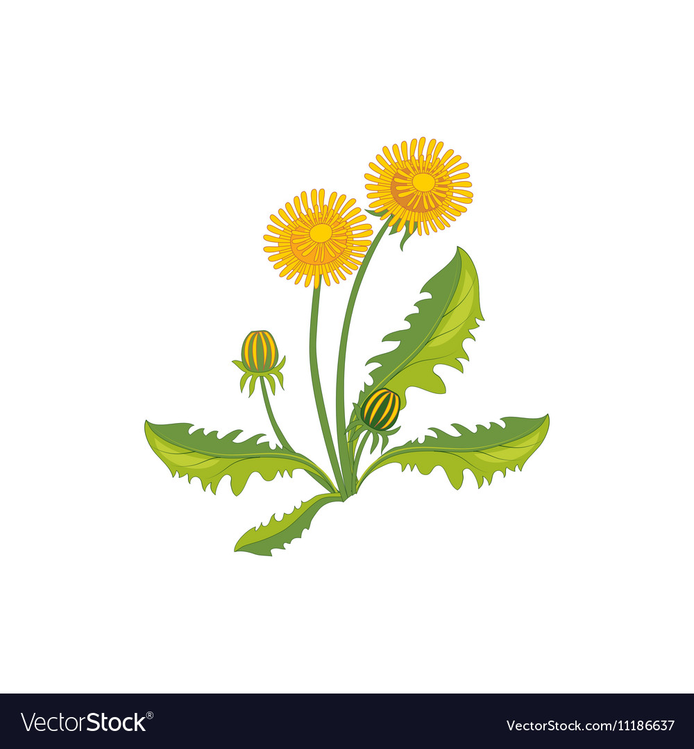Dandelion Wild Flower Hand Drawn Detailed vector image