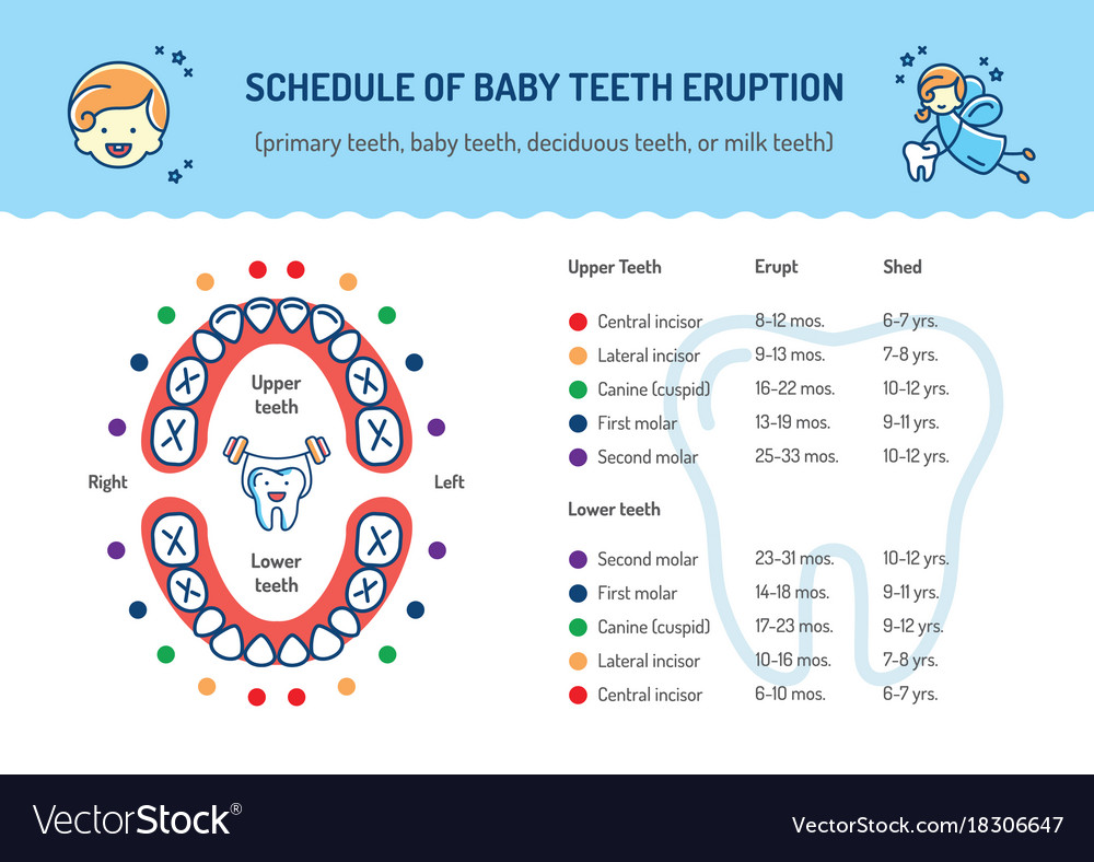 Schedule of baby teeth eruption primary teeth Vector Image
