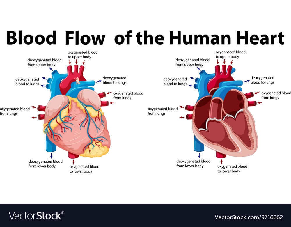 blood flow of the human heart vector image