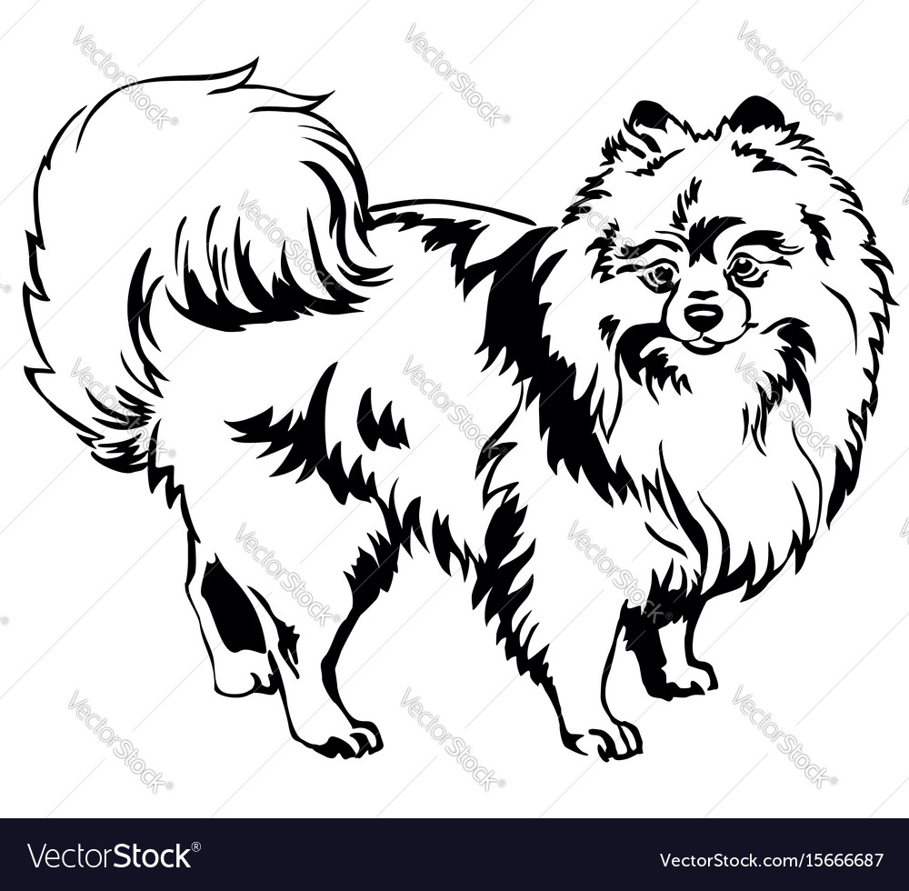 Decorative standing portrait of dog pomeranian vector image