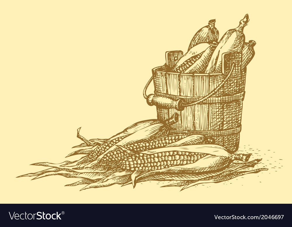 Harvest of corn cobs in an old wooden bucket