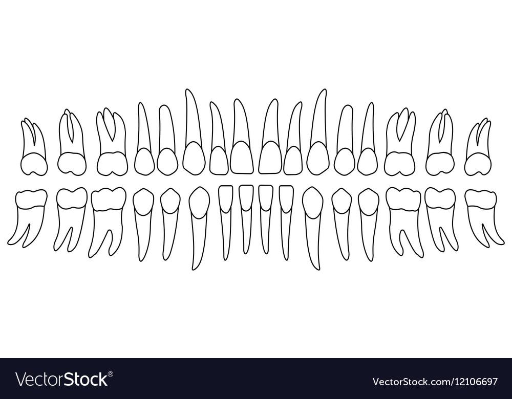 Set of human teeth