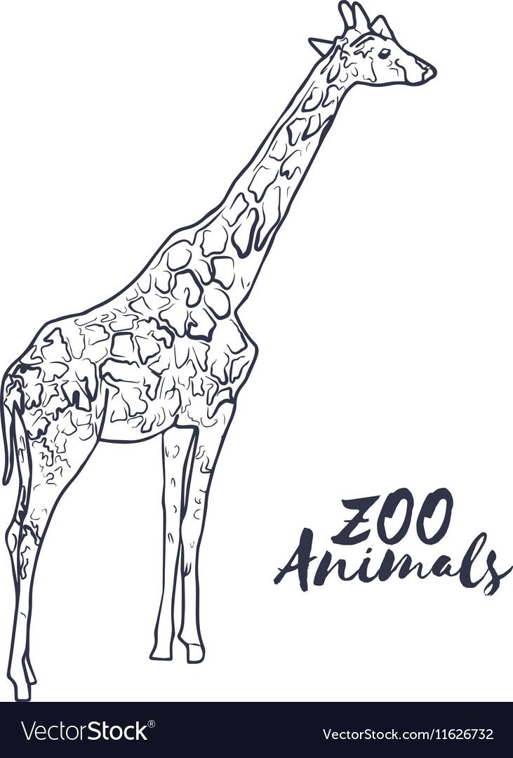Hand drawn isolated sketch giraffe Zoo animal