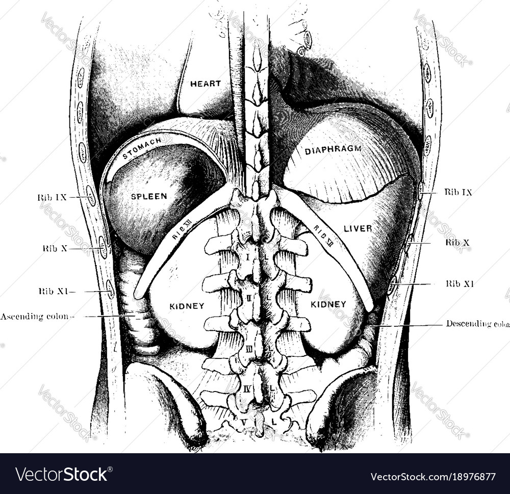 Spleen Liver And Kidneys Vintage Royalty Free Vector Image