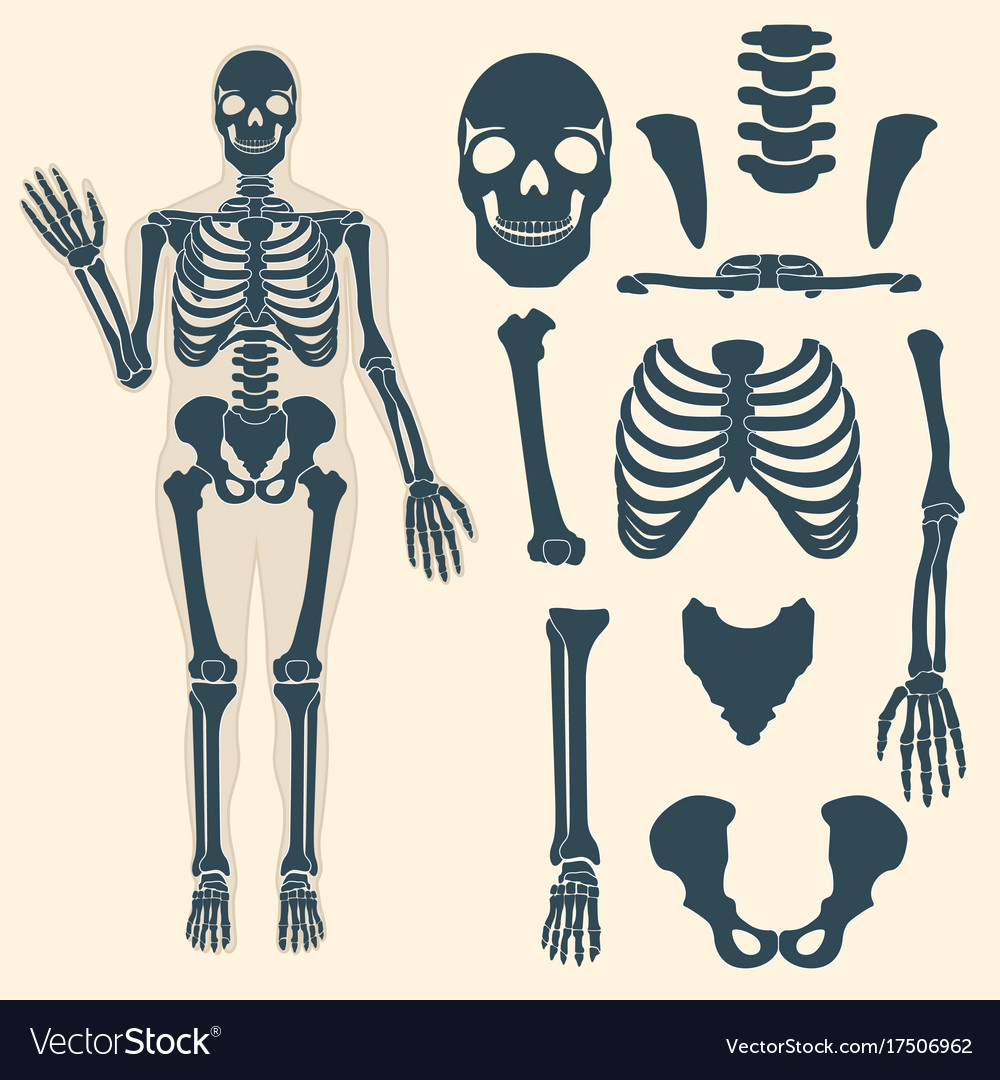Human Skeleton With Different Parts Anatomy Of Vector Image