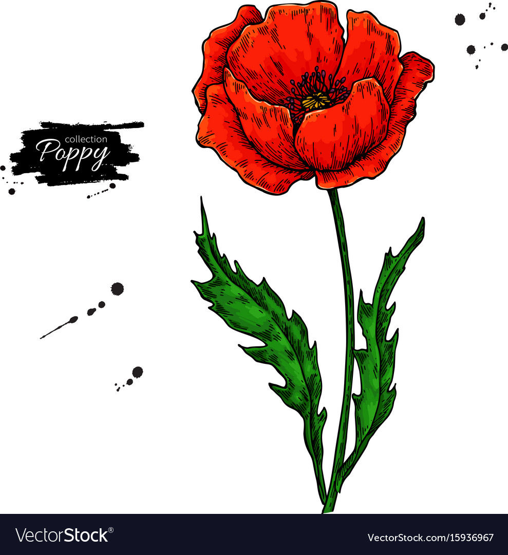 Poppy Flower Drawing Set Isolated Wild Royalty Free Vector