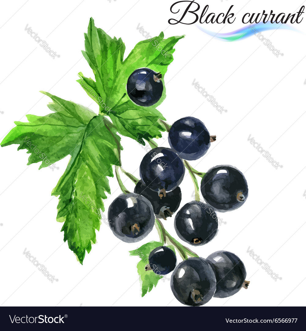 Blackcurrant Images Free