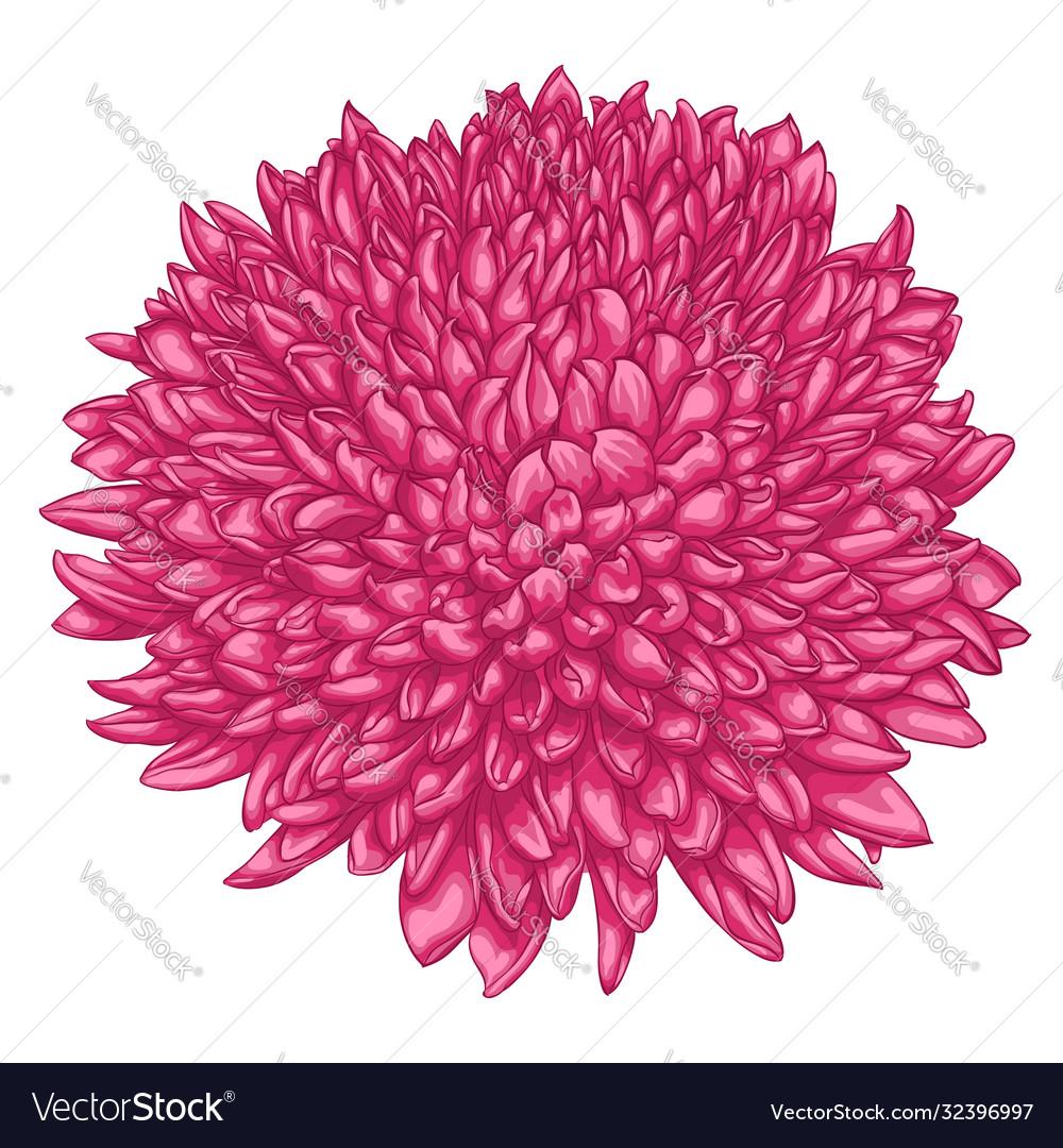 Beautiful pink chrysanthemum isolated on white