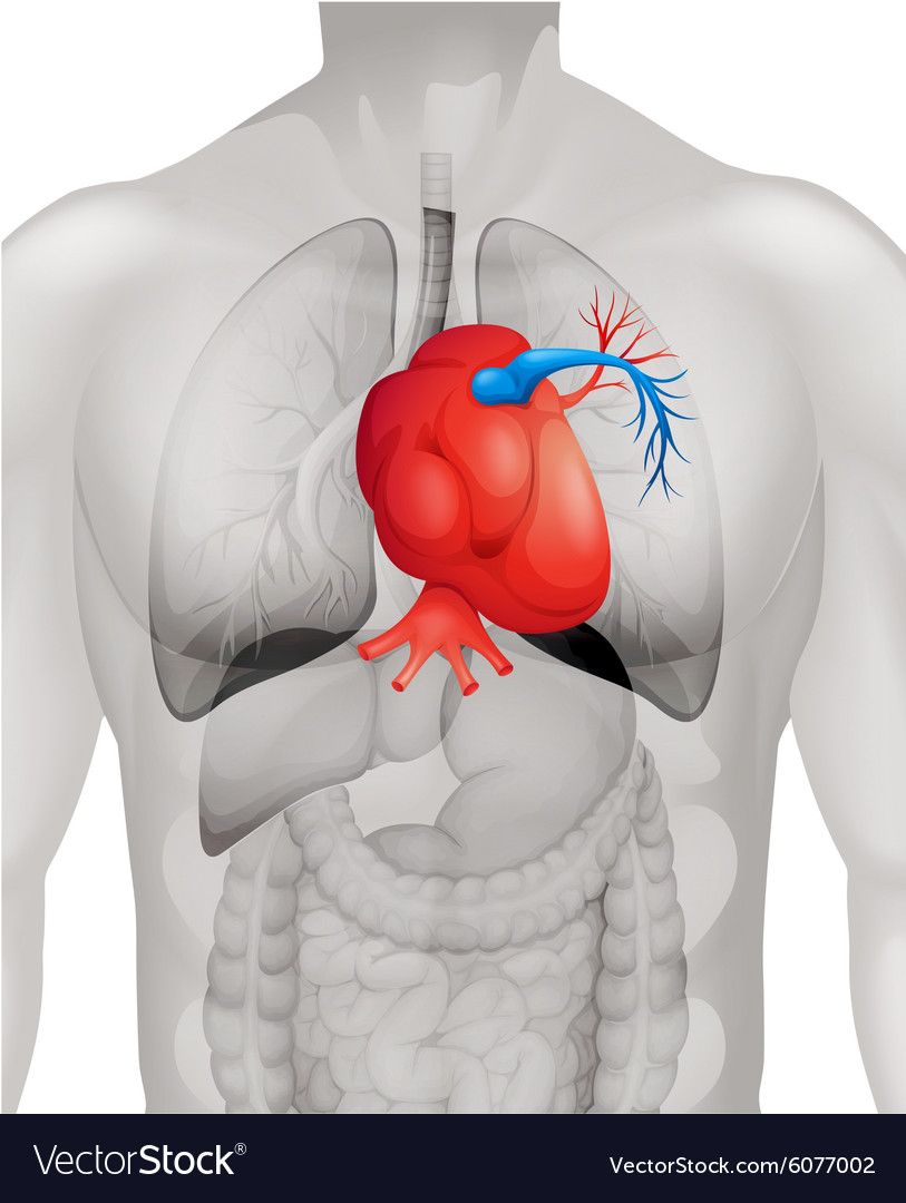 Human Heart Diagram In Detail Royalty Free Vector Image