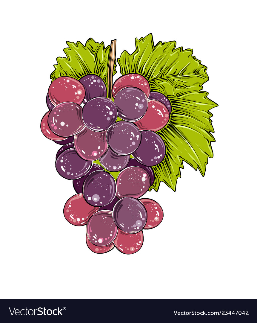 Hand drawn sketch of grapes in color isolated on