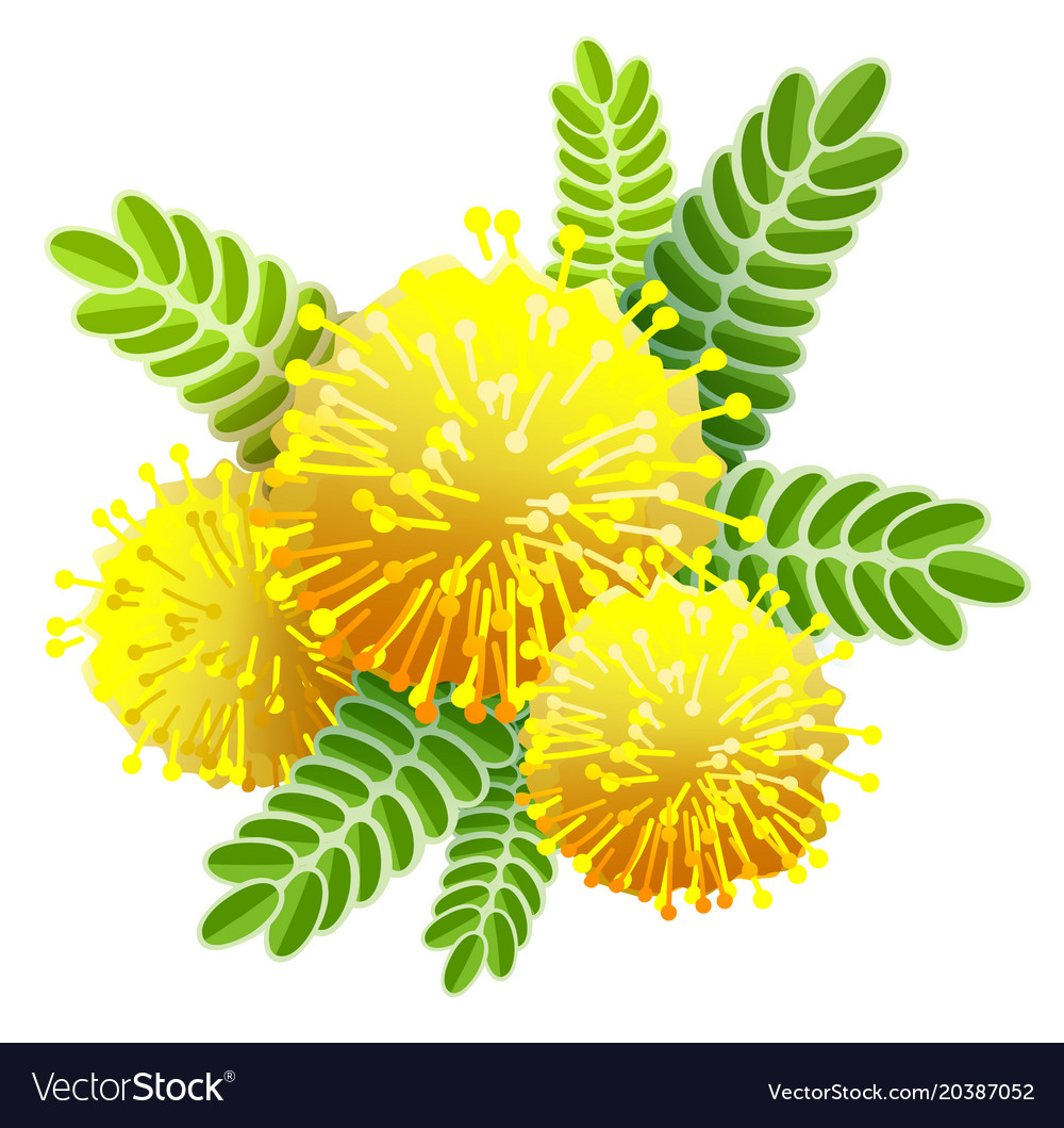 Yellow Mimosa Bouquet Fluffy Flower View From Vector Image