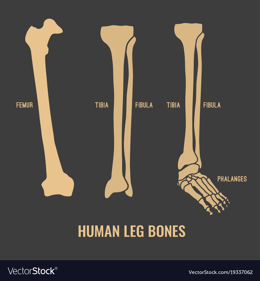 Human Skeleton Bones Royalty Free Vector Image