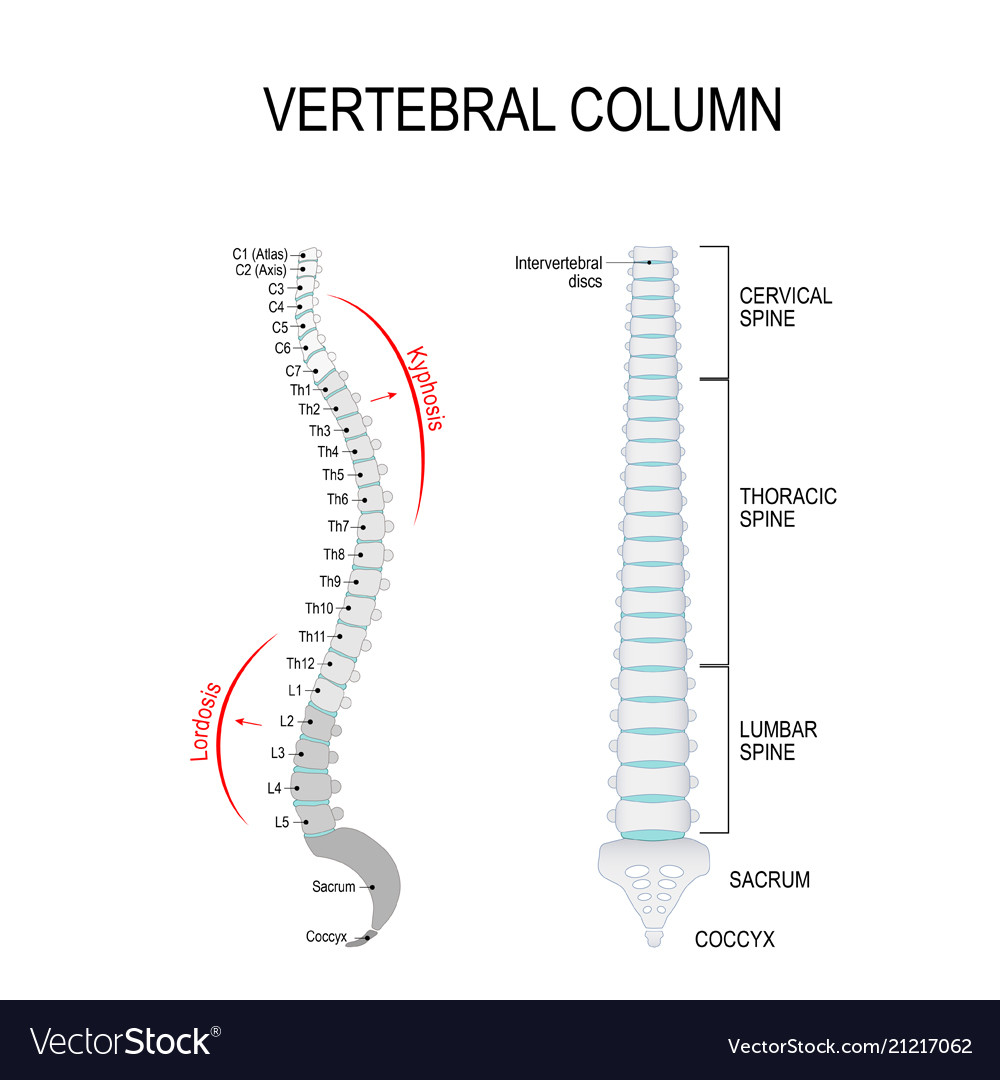Unique L1 Vertebrae Ideas - Physiology Of Human Body Images ...