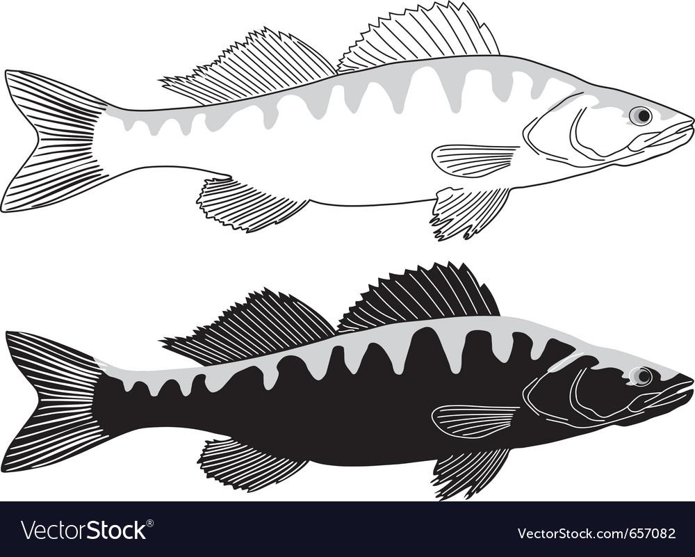 Fish - zander vector image