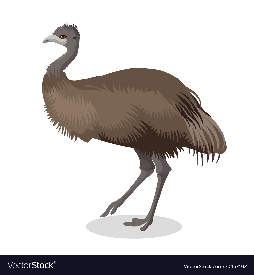 Emu bird full length portrait isolated on white