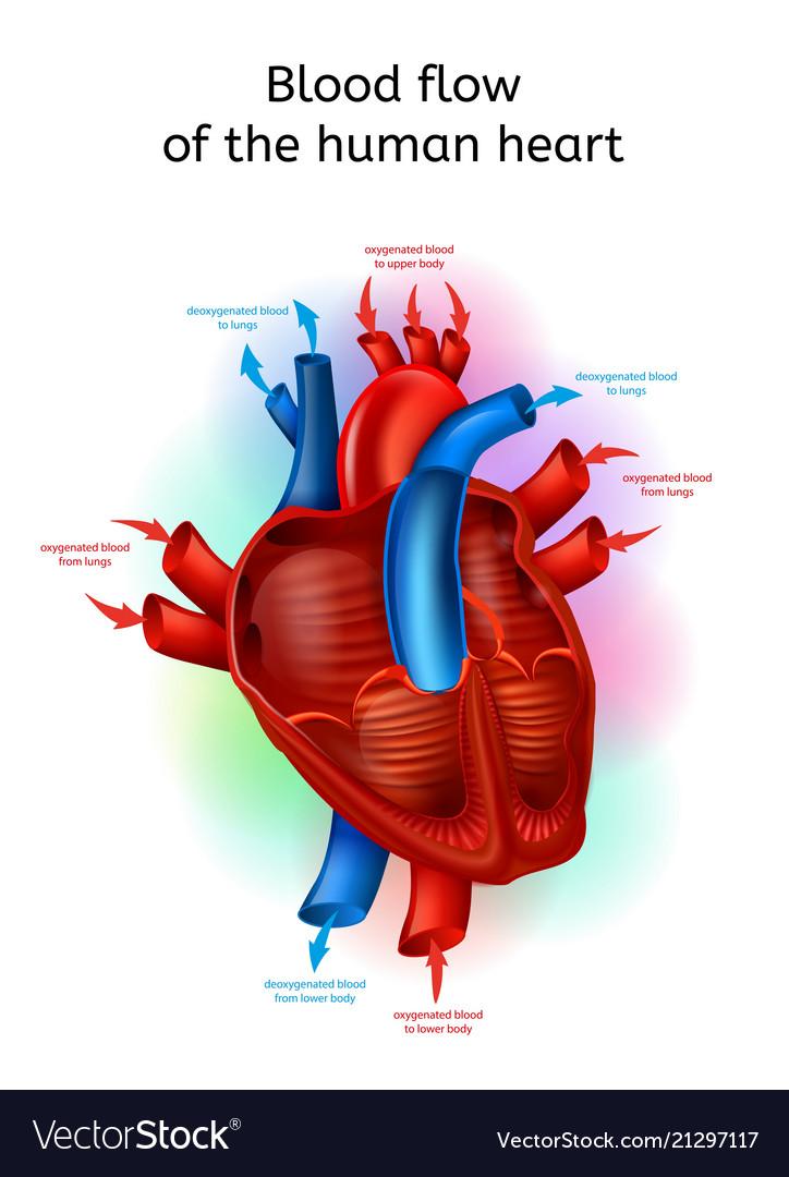 Blood flow in human heart realistic scheme