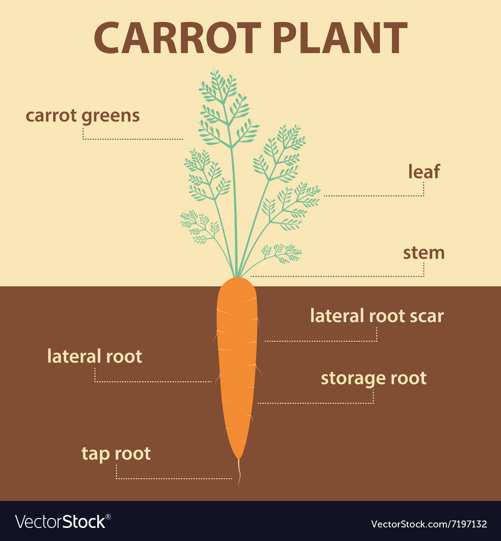 Anatomy Diagram Parts Carrot Plant With Root Vector Image
