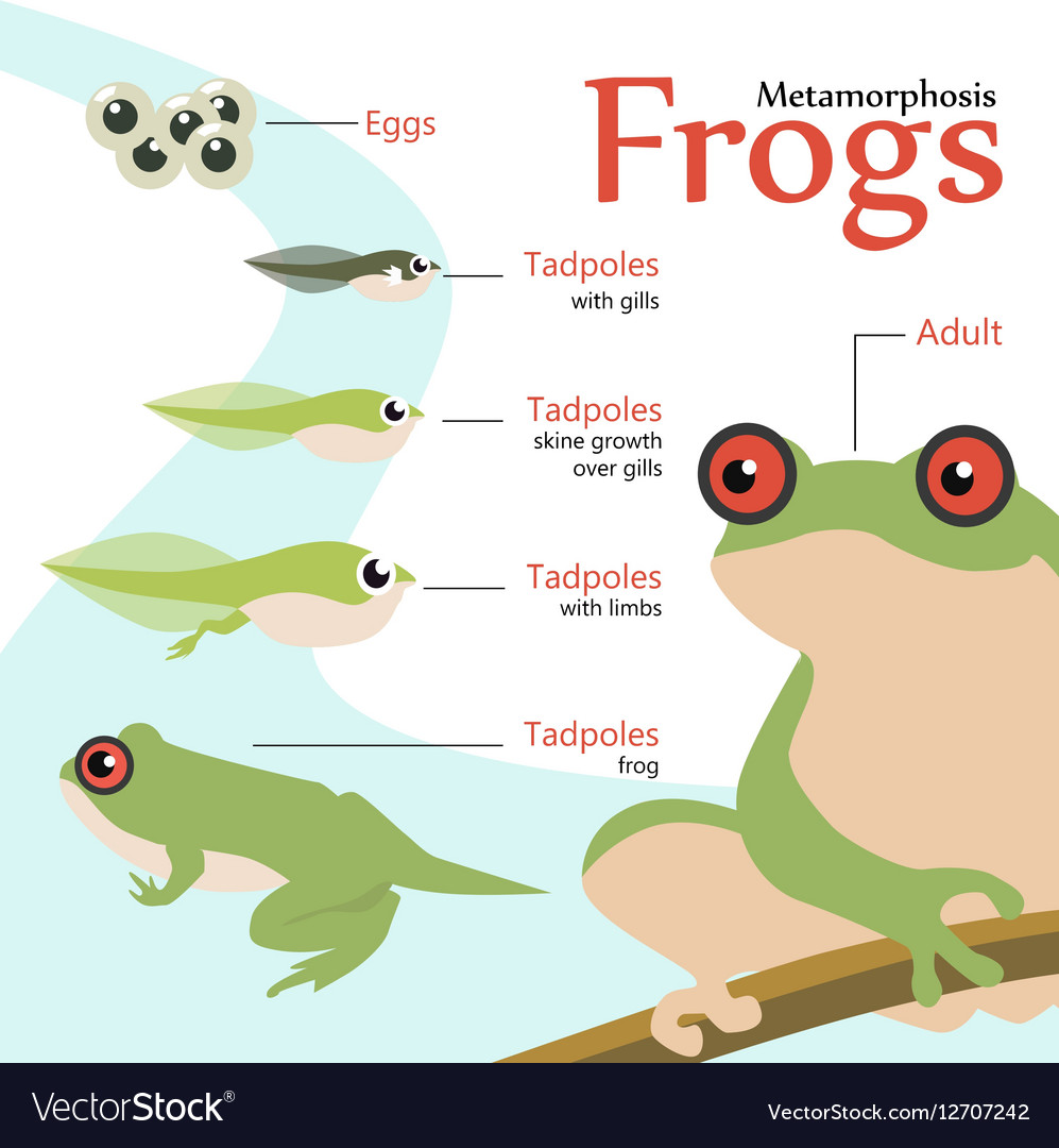 Metamorphosis Life cycle of a frog Royalty Free Vector Image - photo#27
