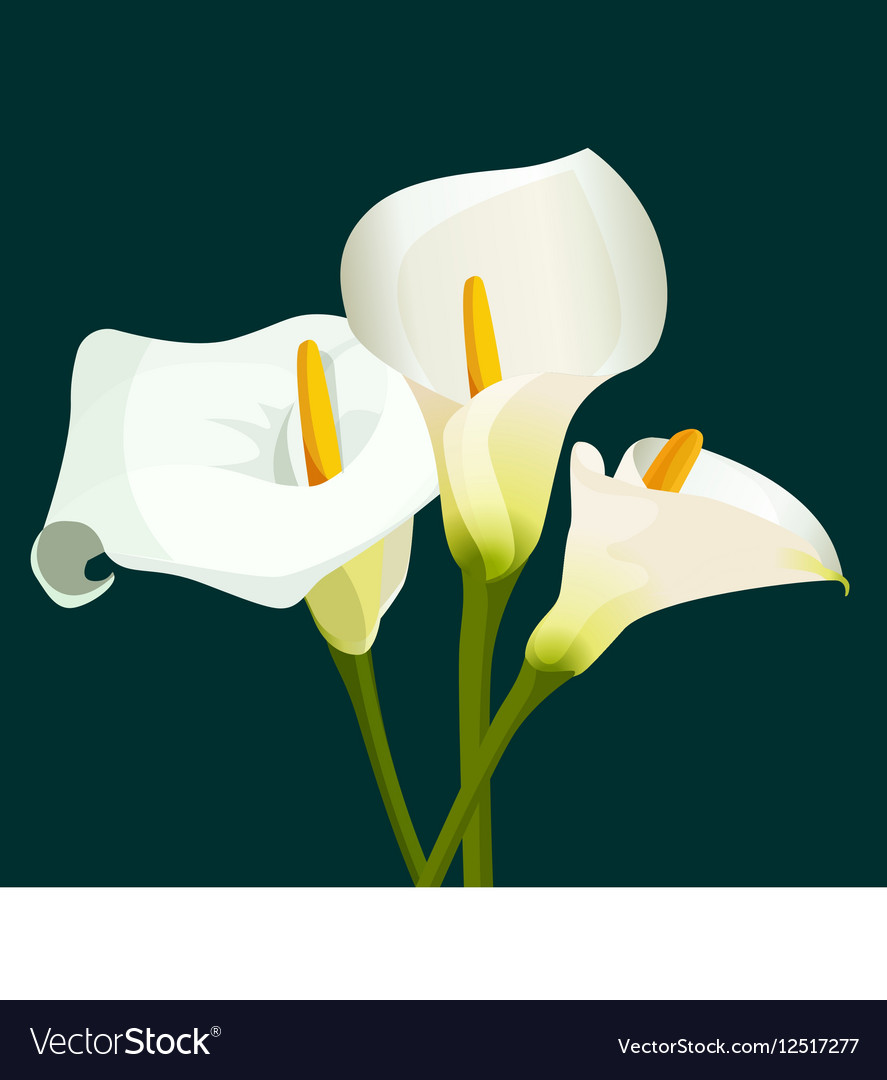 Bouquet of white calla lilies on dark green vector image izmirmasajfo