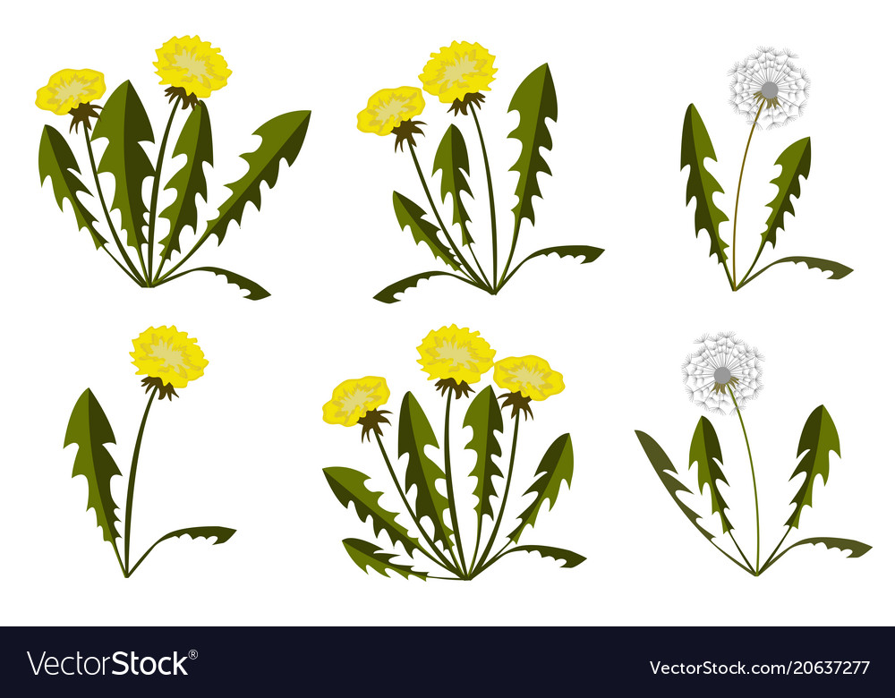 Set of dandelions on white background