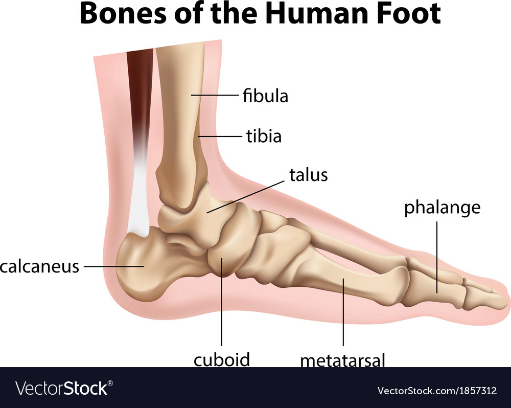 Bones Of The Human Foot Royalty Free Vector Image