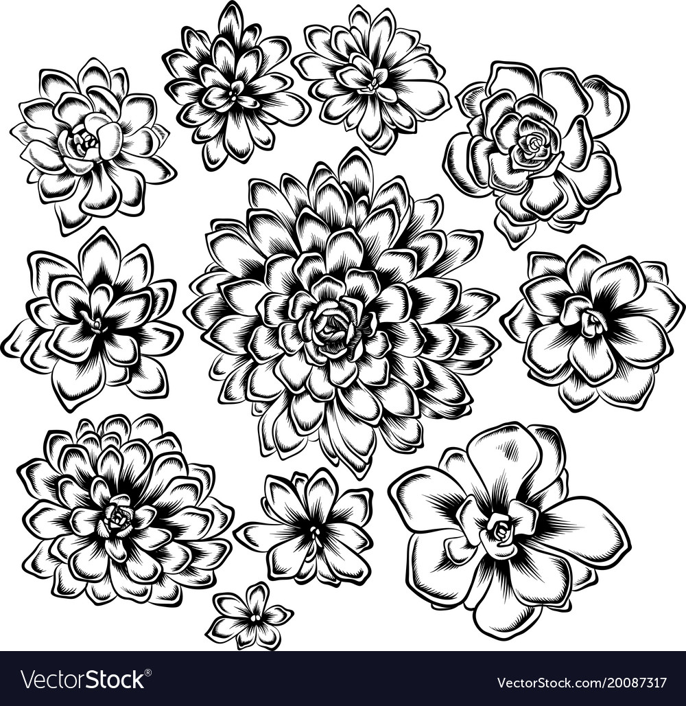 Set Of Succulents Flowers Drawings Royalty Free Vector Image