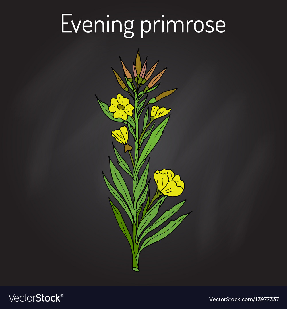 Evening primrose oenothera biennis or suncups