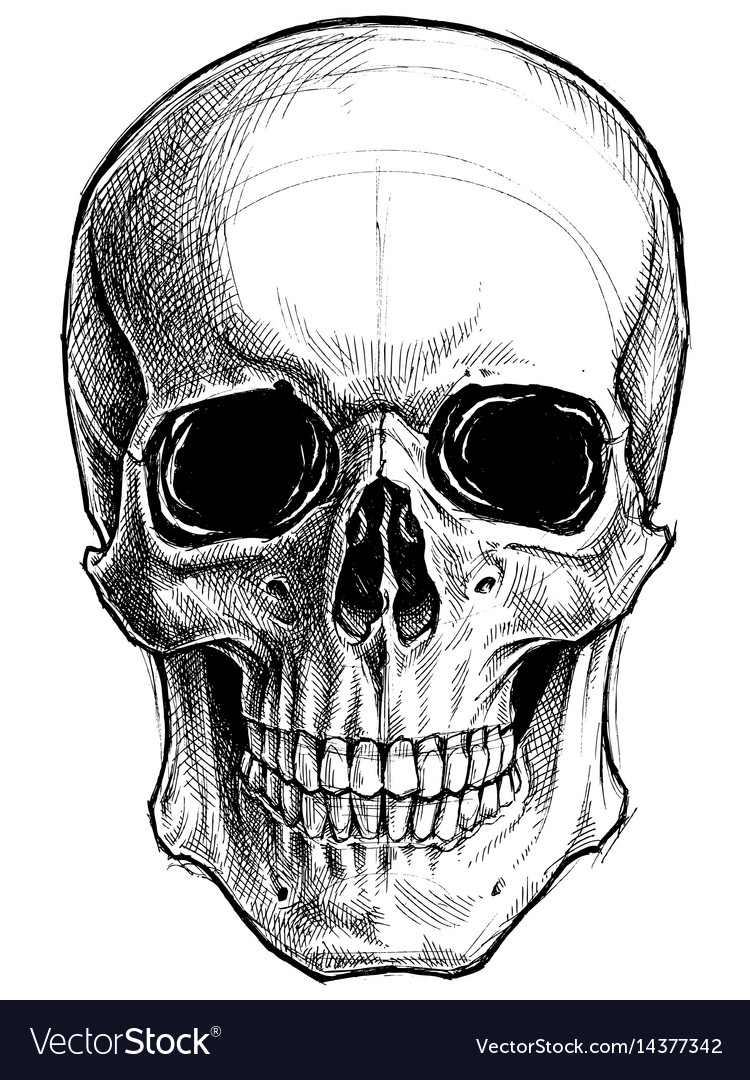 Line Art Skull : Skull drawing line work royalty free vector image
