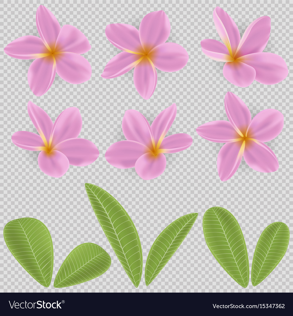Pink and yellow plumeria flower royalty free vector image pink and yellow plumeria flower vector image mightylinksfo