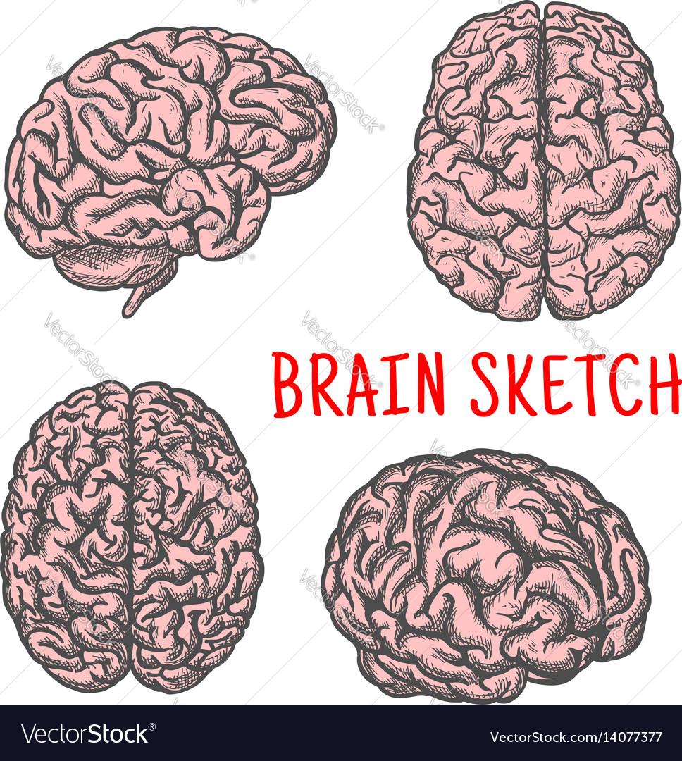 Human brain organ sketch icon vector image