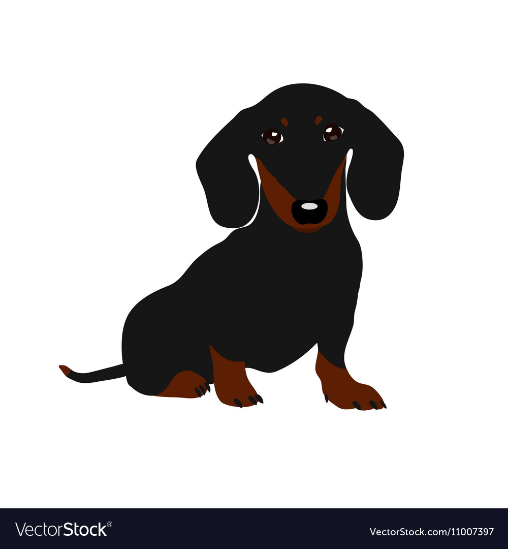 Dachshund Dog Cute Puppy On A White Background Vector Image