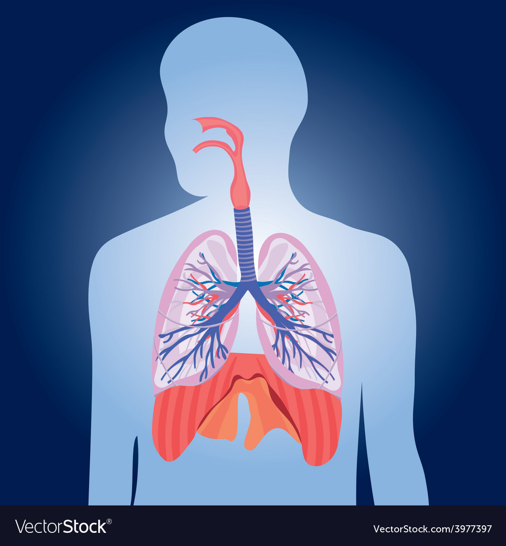 Respiratory system lungs human body Royalty Free Vector
