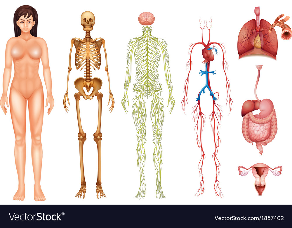 Human Body Systems Royalty Free Vector Image Vectorstock