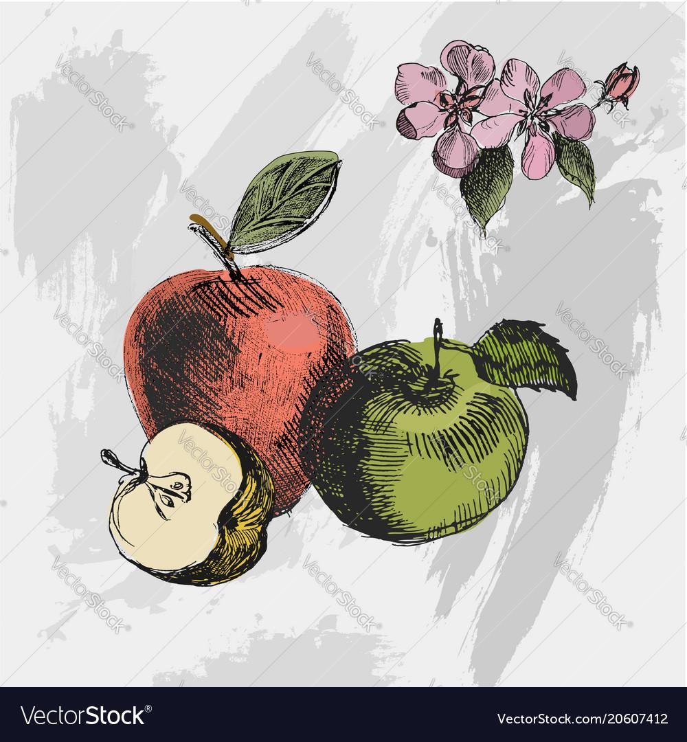 Apple sketchvintage ink hand drawn of