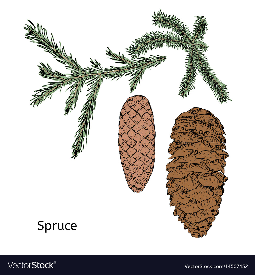 Drawing floral coniferous elements concept vector image