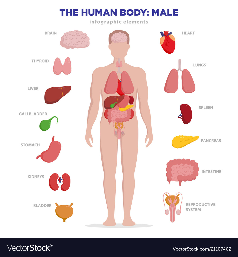Human Anatomy Infographic Elements With Set Of Vector Image