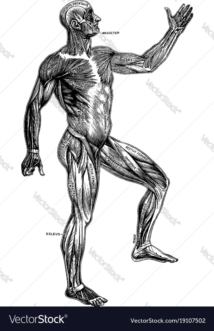 Superficial muscles of the body vintage Royalty Free Vector