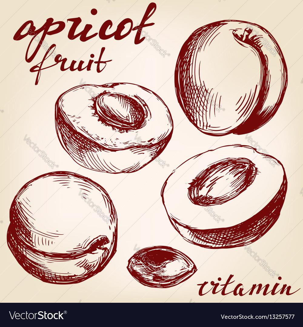 Apricot fruit set hand drawn vector image