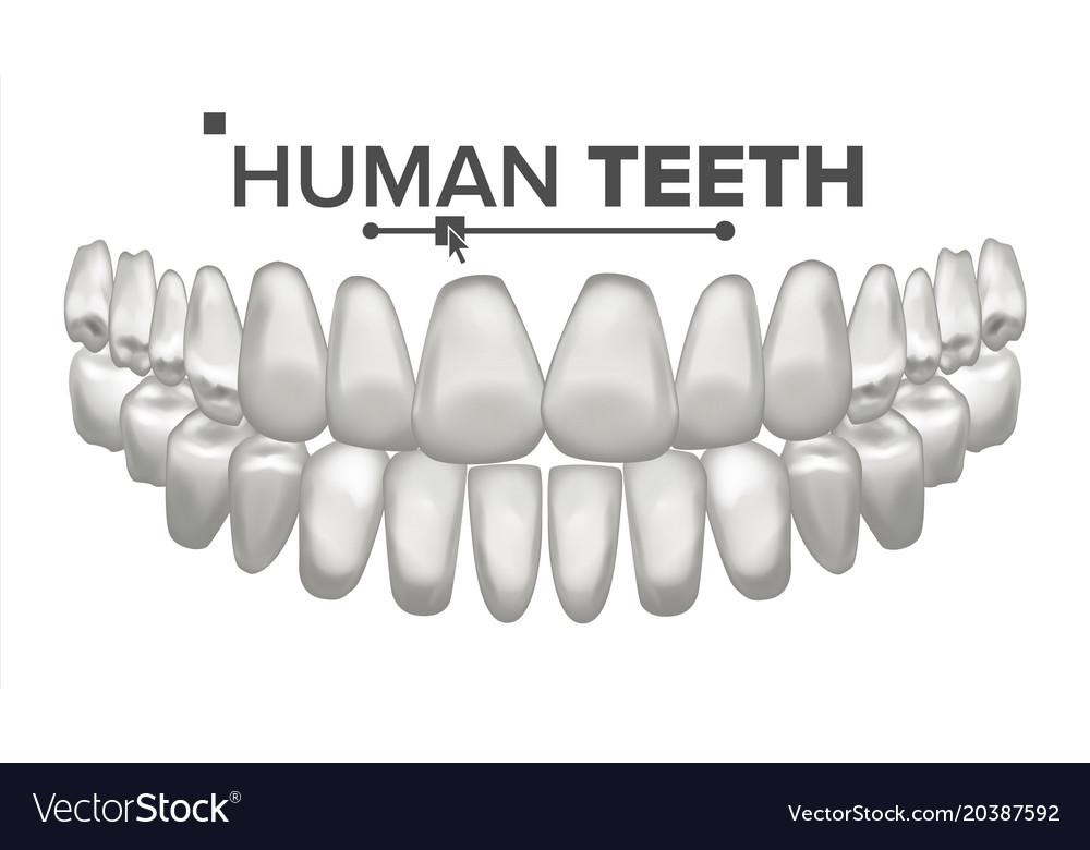 Tooth Mouth Anatomy Human Teeth Healthy Royalty Free Vector