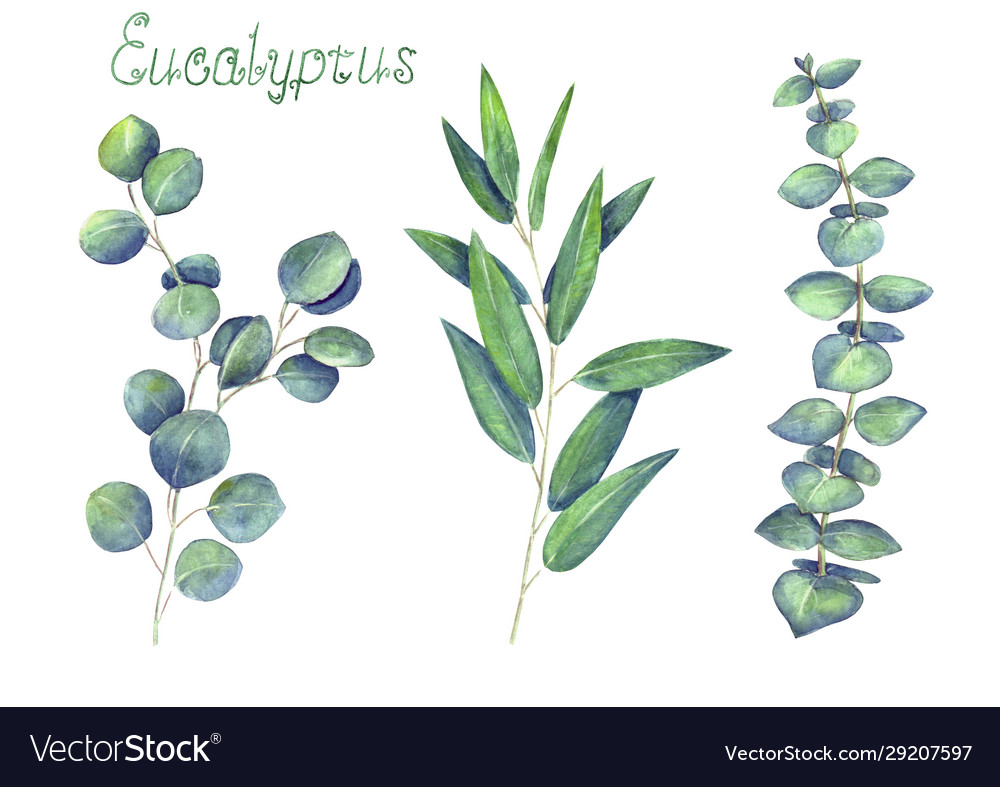 Eucalyptus leaves and branches blue green set