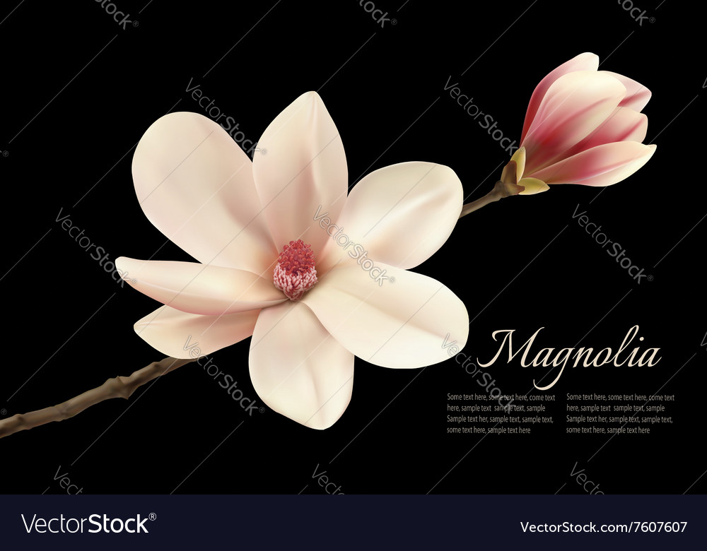 Beautiful White Magnolia Flower Isolated On A