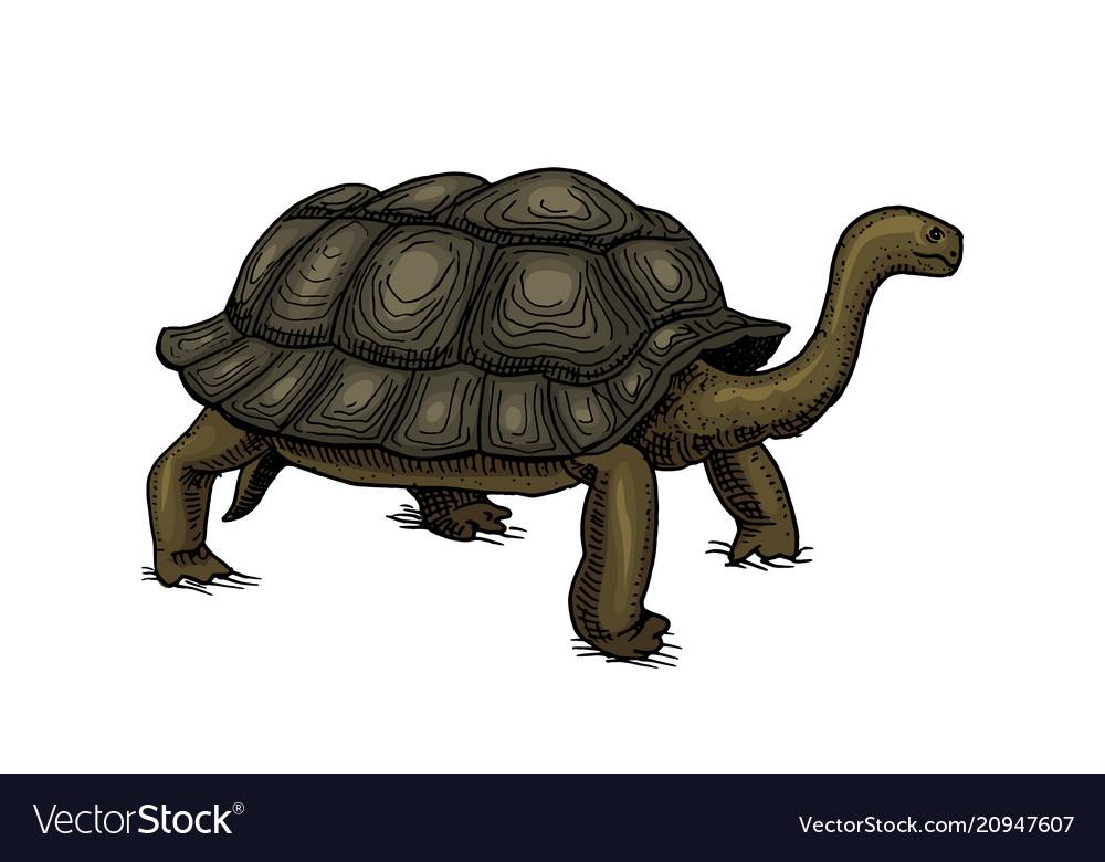 Galapagos giant tortoise cute turtle in ecuador